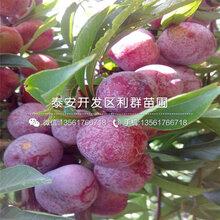 出售新品种李子树苗、新品种李子树苗价格