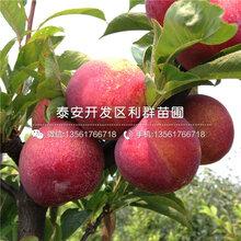 美国大红李子树苗、美国大红李子树苗报价及价格