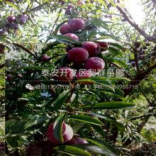 山东红布林李子树苗出售价格、山东红布林李子树苗多少钱一棵