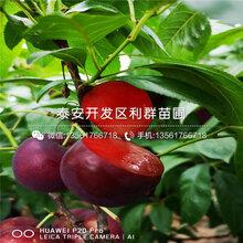 2019年红李子苗、2019年红李子苗价格