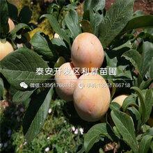 山东脆李子树苗新品种、山东脆李子树苗多少钱一棵