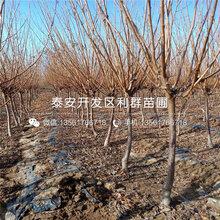 山东大红李子树苗新品种、山东大红李子树苗价格多少
