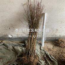 新品种西梅李子树苗价格是多少