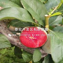 新品种美国杏李子树苗价格