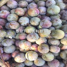 山东红宝石李子树苗出售价格、山东红宝石李子树苗多少钱一棵
