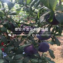 附件哪里有红宝石李子树苗出售、2019年红宝石李子树苗价格