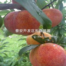 山东红李子树苗多少钱一棵