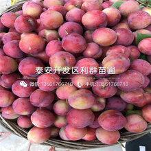 新品种大总统李子树苗价格多少