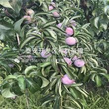 新品种红宝石李子苗报价