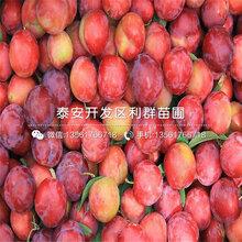 哪里有卖红喜梅李子树苗的、2019年红喜梅李子树苗价格