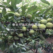 2019年大红袍李子苗什么价格