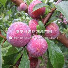 新品种早红李子苗基地