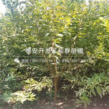 新品種紅肉李子樹苗圖片