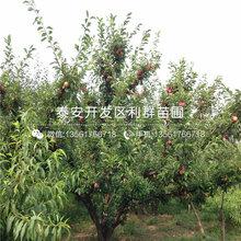 一棵美国杏李子树苗多少钱