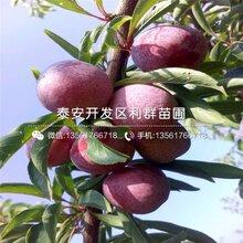 新品种西梅蓝蜜李子树苗出售价格