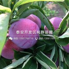 风味玫瑰李子苗、山东风味玫瑰李子苗价格图片
