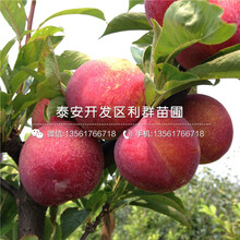 新品fen)中縷分(fen)擲鈄zi)樹(shu)苗批發價格圖片