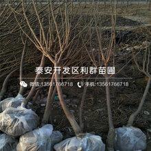 西梅李苗秋季价格