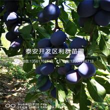 新品種法蘭西李子苗出售價格圖片