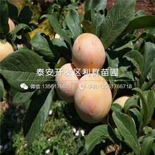新品種黑寶石李子樹苗、新品種黑寶石李子樹苗報價圖片