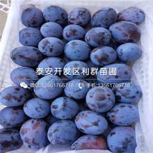 山東美國黑李子樹苗出售價格圖片