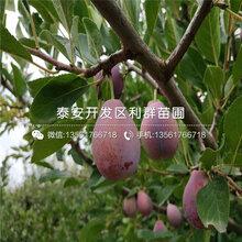 山东红宝石李子树苗新品种