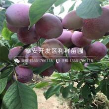 黑總統李子(zi)樹(shu)苗基地出售圖片