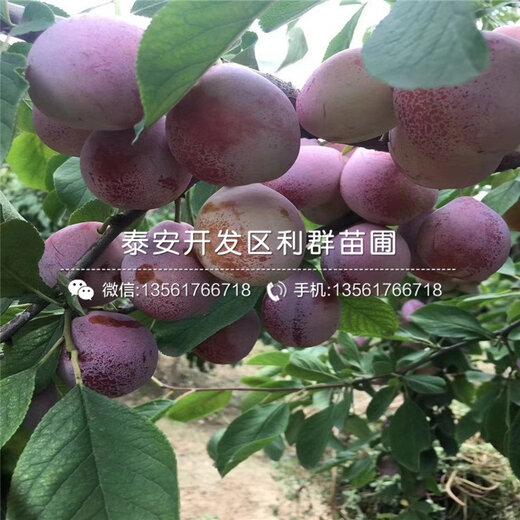 【脆红李子树苗价格、脆红李子树苗批发】- 黄页88网