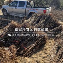 2019年酥李子苗批发价格