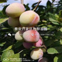 新品fen)中縷分(fen)擲鈄zi)樹(shu)苗價格圖片