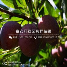 西梅蓝蜜李子树苗多少钱一棵、西梅蓝蜜李子树苗多少钱一棵