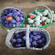 紫琥珀李子树苗、紫琥珀李子树苗2019年价格