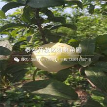 山(shan)東西梅(mei)李子(zi)樹(shu)苗批發價格、山(shan)東西梅(mei)李子(zi)樹(shu)苗出售基地圖片