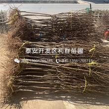 山東黑寶石李子樹苗品種、山東黑寶石李子樹苗多少錢一棵圖片