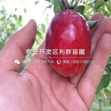 黑霸李子树苗品种简介、黑霸李子树苗多少钱一棵