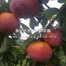 新品種脆李子苗、脆李子苗價格多少圖片