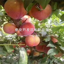脆红李子树苗什么价格图片