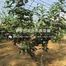 冰脆李子(zi)樹(shu)苗報價圖片