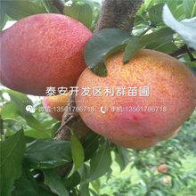红脆李子树苗新品种