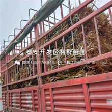 紅肉李子苗價格低圖片