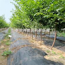 風味玫瑰李子樹苗、風味玫瑰李子樹苗新品種圖片