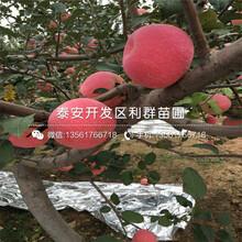錦繡海棠樹苗、錦繡海棠樹苗報價及價格圖片