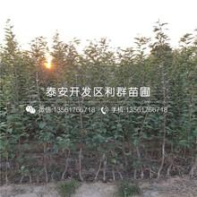 山东早生富士苹果树苗、山东早生富士苹果树苗品种图片