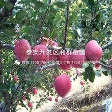 煙富六號蘋果苗品種圖片