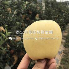 瑞雪蘋果苗出售價格圖片