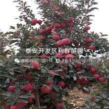 山東黃香蕉蘋果苗、山東黃香蕉蘋果苗品種圖片