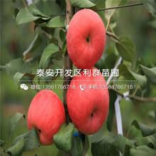 山东红将军苹果苗批发图片