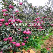 红将军苹果树苗基地图片