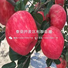2019年瑞陽蘋果苗報價、今年瑞陽蘋果苗價格是多少圖片