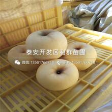 瑞雪蘋果樹苗批發、瑞雪蘋果樹苗價格圖片